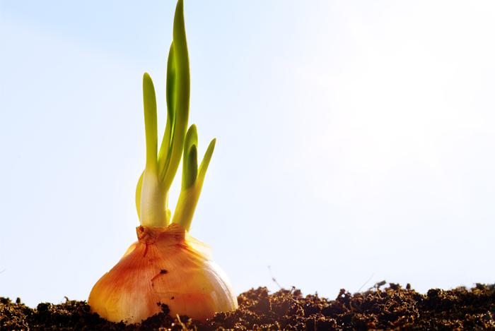 history of onion