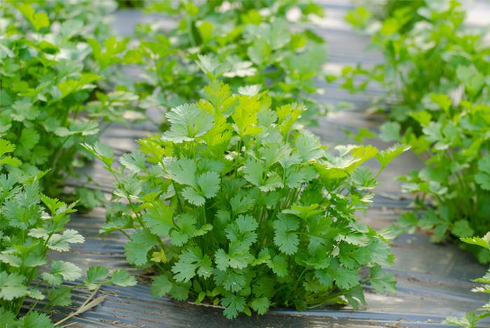 starter herb